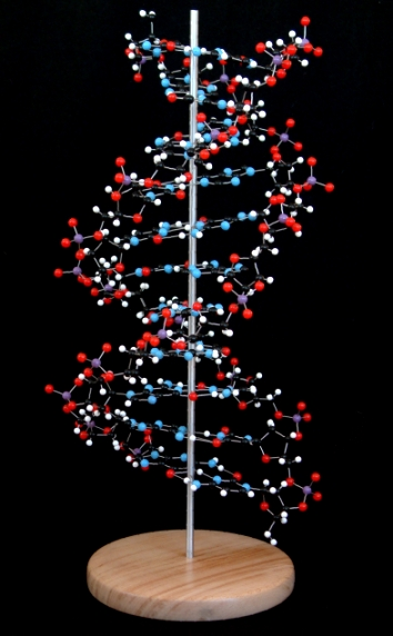A molecular model of DNA, deoxyribonucleic acid on a wooden base with an aluminium support rod